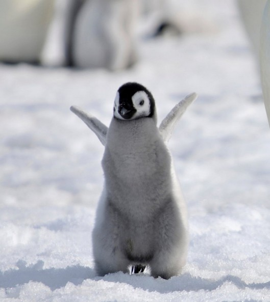 cute-baby-penguin-8.jpg