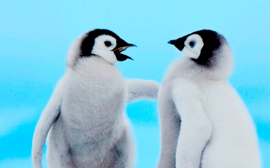 Cute-Penguin-Wallpaper